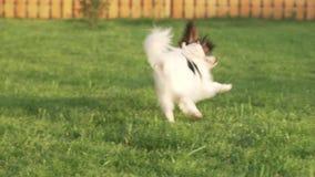 使用与在绿色草坪的长毛绒老鼠的Papillon大陆玩具西班牙猎狗小狗papillon大陆玩具西班牙猎狗小狗 股票录像