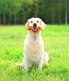 使用与在草的橡胶骨头玩具的金毛猎犬狗 免版税库存图片