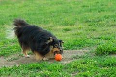 使用与在绿草的橙色球的Sheltie 免版税库存图片