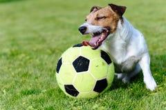 使用与大橄榄球球的愉快的狗在绿草草坪 免版税库存图片