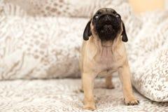 使用与女孩的可爱的哈巴狗小狗 免版税库存照片
