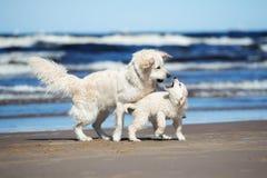 使用与她的在海滩的小狗的金毛猎犬狗 库存照片