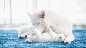 使用与她的小狗的西伯利亚爱斯基摩人母亲 免版税库存照片