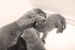 使用与她的婴孩的英国Shorthair母亲 免版税库存照片