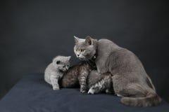 使用与她的婴孩的英国Shorthair母亲 免版税库存图片