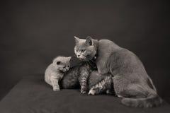 使用与她的婴孩的英国Shorthair母亲 免版税图库摄影