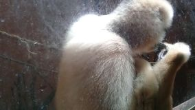 使用与它的在笼子里面的自已的逗人喜爱的野生猴子 股票录像