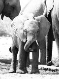 使用与它的树干的年轻婴孩大象在牧群,埃托沙国家公园,纳米比亚,非洲中间 库存照片