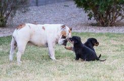 使用与小狗的英国牛头犬 库存图片
