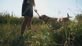 使用与拉布拉多或金毛猎犬的年轻人在草甸 人火车尾随户外 友谊的概念与 影视素材