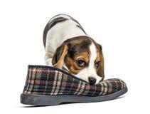 使用与拖鞋的杰克罗素小狗, 库存图片