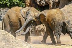 使用与提示的非洲大象夫妇 免版税图库摄影