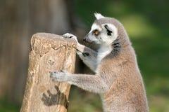 使用与日志的逗人喜爱的狐猴 库存照片