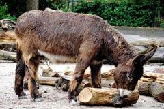 使用与日志的Poitou驴 库存图片