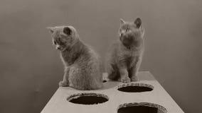 使用与有孔的一个纸板箱的小猫 影视素材