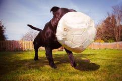 使用与有点在嚼以后放气的足球的斯塔福德郡杂种犬狗 采取从低角度 免版税库存照片