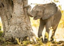 使用与树干的幼小大象小牛 库存照片