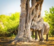 使用与树干的幼小大象小牛 免版税库存照片