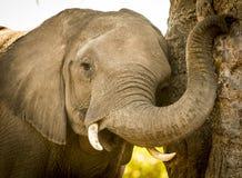 使用与树干的幼小大象小牛 免版税图库摄影