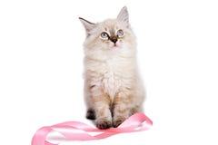 使用与桃红色丝带的逗人喜爱的英国小猫。 库存图片