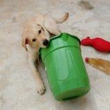 使用与桶和他的玩具的小狗,他是非常逗人喜爱和嬉戏的 免版税库存照片