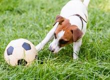 使用与橄榄球& x28的狗; soccer& x29;与它的爪子的球 免版税库存图片