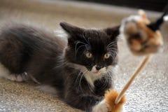 使用与猫玩具的黑白无尾礼服小猫 免版税库存照片
