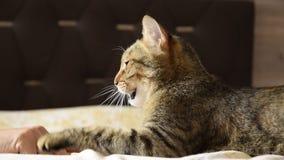 使用与猫的妇女` s手的特写镜头视图室内 股票录像