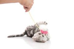 使用与玩具的一只灰色平纹小猫 免版税库存图片