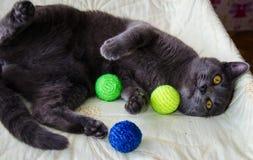 使用与玩具的俄国蓝色猫 免版税库存照片