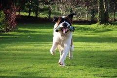 使用与玩具的圣伯纳德狗在庭院里 图库摄影