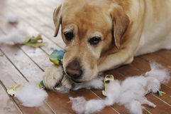使用与玩具的拉布拉多狗 库存图片