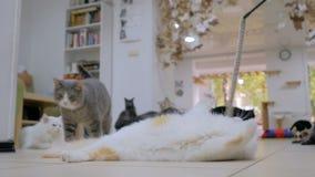 使用与玩具的Cuty猫 股票录像