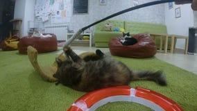 使用与玩具的Cuty猫 股票视频