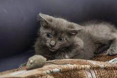 使用与玩具老鼠的一只美丽的俄国蓝色小猫 免版税图库摄影
