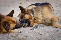 使用与球的两条狗 使用与一个黄色球的两只德国牧羊犬 宠物画象 室外自然画象 免版税图库摄影