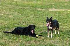 使用与球的两条狗 库存图片