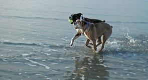 使用与球的狗在海滩 免版税图库摄影