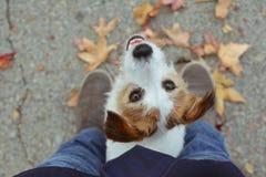 使用与秋叶的画象可爱的杰克罗素狗 库存照片