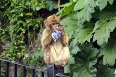 使用与纸的巴巴里人猴子 免版税库存图片