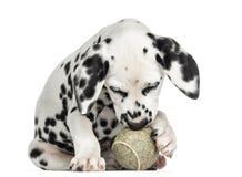 使用与网球的一只达尔马希亚小狗的正面图 免版税库存照片