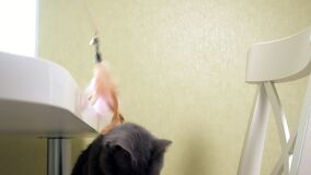 使用与羽毛玩具的可爱的猫  股票录像