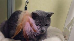 使用与羽毛玩具的可爱的猫  股票视频