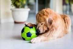 使用与老绿色足球的狗 免版税库存图片