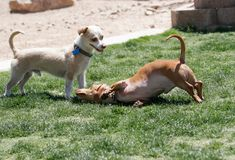 使用与达克斯猎犬小狗的小狗混合 图库摄影