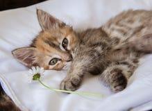 使用与雏菊的一只好奇小猫 图库摄影