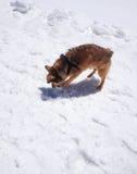 使用与雪的一条逗人喜爱的棕色狗 库存图片