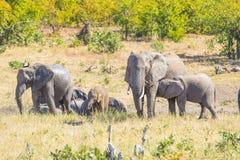 使用与水和泥的非洲大象牧群在灌木 野生生物徒步旅行队在克留格尔国家公园,主要旅行des 库存照片