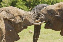 使用与他们的树干的Teo大象在阳光下 图库摄影