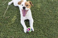 使用与他的玩具,球和看的逗人喜爱的幼小小狗 库存图片